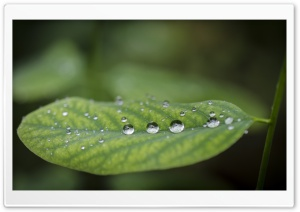 Acacia Leaf   Droplets HD Wide Wallpaper for Widescreen