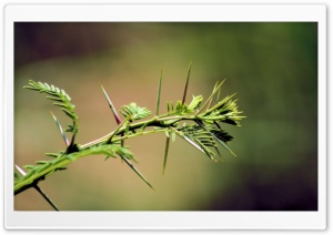 Acacia Thorn HD Wide Wallpaper for Widescreen