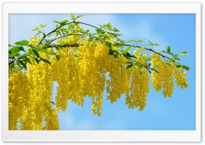 Acacia Yellow Flowers HD Wide Wallpaper for 4K UHD Widescreen desktop & smartphone