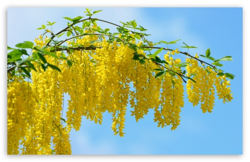 Acacia Yellow Flowers ❤ 4K UHD Wallpaper for Wide 16:10 5:3 Widescreen WHXGA WQXGA WUXGA WXGA WGA ; 4K UHD 16:9 Ultra High Definition 2160p 1440p 1080p 900p 720p ; Standard 4:3 5:4 3:2 Fullscreen UXGA XGA SVGA QSXGA SXGA DVGA HVGA HQVGA ( Apple PowerBook G4 iPhone 4 3G 3GS iPod Touch ) ; Tablet 1:1 ; iPad 1/2/Mini ; Mobile 4:3 5:3 3:2 16:9 5:4 - UXGA XGA SVGA WGA DVGA HVGA HQVGA ( Apple PowerBook G4 iPhone 4 3G 3GS iPod Touch ) 2160p 1440p 1080p 900p 720p QSXGA SXGA ;