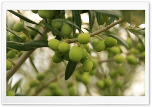 Aceitunas HD Wide Wallpaper for Widescreen
