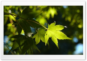 Acer Palmatum HD Wide Wallpaper for Widescreen