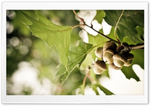 Acorns HD Wide Wallpaper for Widescreen