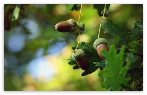 Acorns HD wallpaper for Wide 16:10 5:3 Widescreen WHXGA WQXGA WUXGA WXGA WGA ; HD 16:9 High Definition WQHD QWXGA 1080p 900p 720p QHD nHD ; Standard 4:3 5:4 3:2 Fullscreen UXGA XGA SVGA QSXGA SXGA DVGA HVGA HQVGA devices ( Apple PowerBook G4 iPhone 4 3G 3GS iPod Touch ) ; Tablet 1:1 ; iPad 1/2/Mini ; Mobile 4:3 5:3 3:2 16:9 5:4 - UXGA XGA SVGA WGA DVGA HVGA HQVGA devices ( Apple PowerBook G4 iPhone 4 3G 3GS iPod Touch ) WQHD QWXGA 1080p 900p 720p QHD nHD QSXGA SXGA ; Dual 5:4 QSXGA SXGA ;