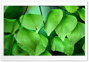 Adiantum Macrophylla 2 HD Wide Wallpaper for Widescreen