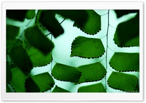 Adiantum Macrophylla 3 HD Wide Wallpaper for Widescreen