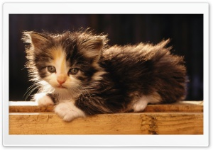 Adorable Fluffy Kitten HD Wide Wallpaper for Widescreen