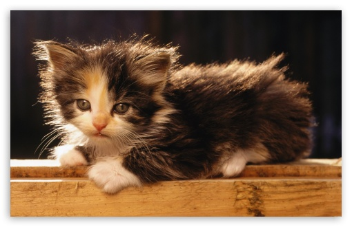 Adorable Fluffy Kitten HD wallpaper for Wide 16:10 5:3 Widescreen WHXGA WQXGA WUXGA WXGA WGA ; HD 16:9 High Definition WQHD QWXGA 1080p 900p 720p QHD nHD ; Standard 4:3 3:2 Fullscreen UXGA XGA SVGA DVGA HVGA HQVGA devices ( Apple PowerBook G4 iPhone 4 3G 3GS iPod Touch ) ; iPad 1/2/Mini ; Mobile 4:3 5:3 3:2 16:9 - UXGA XGA SVGA WGA DVGA HVGA HQVGA devices ( Apple PowerBook G4 iPhone 4 3G 3GS iPod Touch ) WQHD QWXGA 1080p 900p 720p QHD nHD ;