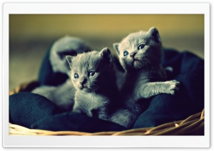 Adorable Grey Kittens HD Wide Wallpaper for Widescreen