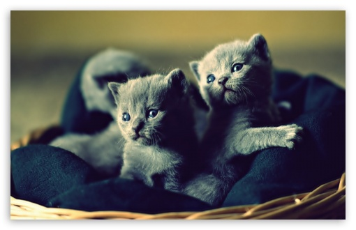 Adorable Grey Kittens HD wallpaper for Wide 16:10 5:3 Widescreen WHXGA WQXGA WUXGA WXGA WGA ; HD 16:9 High Definition WQHD QWXGA 1080p 900p 720p QHD nHD ; Standard 4:3 5:4 3:2 Fullscreen UXGA XGA SVGA QSXGA SXGA DVGA HVGA HQVGA devices ( Apple PowerBook G4 iPhone 4 3G 3GS iPod Touch ) ; iPad 1/2/Mini ; Mobile 4:3 5:3 3:2 16:9 5:4 - UXGA XGA SVGA WGA DVGA HVGA HQVGA devices ( Apple PowerBook G4 iPhone 4 3G 3GS iPod Touch ) WQHD QWXGA 1080p 900p 720p QHD nHD QSXGA SXGA ;