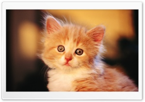 Adorable Kitty HD Wide Wallpaper for Widescreen