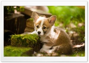 Adorable Pembroke Welsh Corgi Puppy Ultra HD Wallpaper for 4K UHD Widescreen desktop, tablet & smartphone