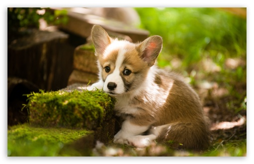 Adorable Pembroke Welsh Corgi Puppy ❤ 4K UHD Wallpaper for Wide 16:10 5:3 Widescreen WHXGA WQXGA WUXGA WXGA WGA ; UltraWide 21:9 24:10 ; 4K UHD 16:9 Ultra High Definition 2160p 1440p 1080p 900p 720p ; UHD 16:9 2160p 1440p 1080p 900p 720p ; Standard 4:3 5:4 3:2 Fullscreen UXGA XGA SVGA QSXGA SXGA DVGA HVGA HQVGA ( Apple PowerBook G4 iPhone 4 3G 3GS iPod Touch ) ; Smartphone 16:9 3:2 5:3 2160p 1440p 1080p 900p 720p DVGA HVGA HQVGA ( Apple PowerBook G4 iPhone 4 3G 3GS iPod Touch ) WGA ; Tablet 1:1 ; iPad 1/2/Mini ; Mobile 4:3 5:3 3:2 16:9 5:4 - UXGA XGA SVGA WGA DVGA HVGA HQVGA ( Apple PowerBook G4 iPhone 4 3G 3GS iPod Touch ) 2160p 1440p 1080p 900p 720p QSXGA SXGA ; Dual 4:3 5:4 3:2 UXGA XGA SVGA QSXGA SXGA DVGA HVGA HQVGA ( Apple PowerBook G4 iPhone 4 3G 3GS iPod Touch ) ;