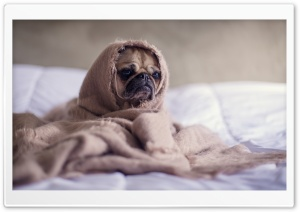 Adorable Pug Dog HD Wide Wallpaper for 4K UHD Widescreen desktop & smartphone