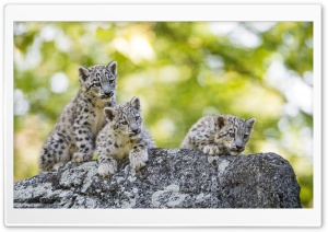 Adorable Snow Leopard Cubs Wild Animals Ultra HD Wallpaper for 4K UHD Widescreen desktop, tablet & smartphone