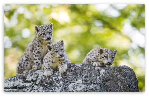 Adorable Snow Leopard Cubs Wild Animals UltraHD Wallpaper for Wide 16:10 5:3 Widescreen WHXGA WQXGA WUXGA WXGA WGA ; UltraWide 21:9 24:10 ; 8K UHD TV 16:9 Ultra High Definition 2160p 1440p 1080p 900p 720p ; UHD 16:9 2160p 1440p 1080p 900p 720p ; Standard 4:3 5:4 3:2 Fullscreen UXGA XGA SVGA QSXGA SXGA DVGA HVGA HQVGA ( Apple PowerBook G4 iPhone 4 3G 3GS iPod Touch ) ; Smartphone 16:9 3:2 5:3 2160p 1440p 1080p 900p 720p DVGA HVGA HQVGA ( Apple PowerBook G4 iPhone 4 3G 3GS iPod Touch ) WGA ; iPad 1/2/Mini ; Mobile 4:3 5:3 3:2 16:9 5:4 - UXGA XGA SVGA WGA DVGA HVGA HQVGA ( Apple PowerBook G4 iPhone 4 3G 3GS iPod Touch ) 2160p 1440p 1080p 900p 720p QSXGA SXGA ;