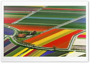 Aerial View Of Tulip Flower Fields, Amsterdam, The Netherlands HD Wide Wallpaper for Widescreen