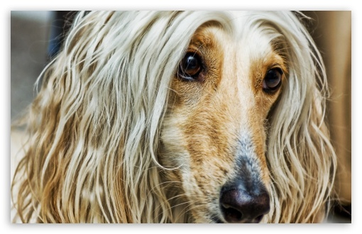 Afghan Dog HD wallpaper for Wide 16:10 5:3 Widescreen WHXGA WQXGA WUXGA WXGA WGA ; HD 16:9 High Definition WQHD QWXGA 1080p 900p 720p QHD nHD ; Standard 4:3 5:4 3:2 Fullscreen UXGA XGA SVGA QSXGA SXGA DVGA HVGA HQVGA devices ( Apple PowerBook G4 iPhone 4 3G 3GS iPod Touch ) ; Tablet 1:1 ; iPad 1/2/Mini ; Mobile 4:3 5:3 3:2 16:9 5:4 - UXGA XGA SVGA WGA DVGA HVGA HQVGA devices ( Apple PowerBook G4 iPhone 4 3G 3GS iPod Touch ) WQHD QWXGA 1080p 900p 720p QHD nHD QSXGA SXGA ;