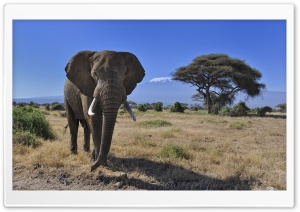 African Bush Elephant HD Wide Wallpaper for Widescreen