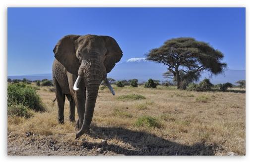 African Bush Elephant ❤ 4K UHD Wallpaper for Wide 16:10 5:3 Widescreen WHXGA WQXGA WUXGA WXGA WGA ; UltraWide 21:9 ; 4K UHD 16:9 Ultra High Definition 2160p 1440p 1080p 900p 720p ; Standard 4:3 5:4 3:2 Fullscreen UXGA XGA SVGA QSXGA SXGA DVGA HVGA HQVGA ( Apple PowerBook G4 iPhone 4 3G 3GS iPod Touch ) ; Smartphone 16:9 3:2 5:3 2160p 1440p 1080p 900p 720p DVGA HVGA HQVGA ( Apple PowerBook G4 iPhone 4 3G 3GS iPod Touch ) WGA ; Tablet 1:1 ; iPad 1/2/Mini ; Mobile 4:3 5:3 3:2 16:9 5:4 - UXGA XGA SVGA WGA DVGA HVGA HQVGA ( Apple PowerBook G4 iPhone 4 3G 3GS iPod Touch ) 2160p 1440p 1080p 900p 720p QSXGA SXGA ;