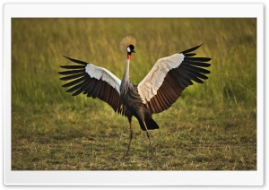 African Crowned Crane Masai Mara Kenya HD Wide Wallpaper for 4K UHD Widescreen desktop & smartphone