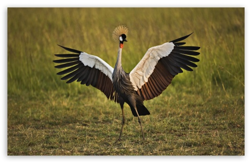 African Crowned Crane Masai Mara Kenya HD wallpaper for Wide 16:10 5:3 Widescreen WHXGA WQXGA WUXGA WXGA WGA ; HD 16:9 High Definition WQHD QWXGA 1080p 900p 720p QHD nHD ; Standard 4:3 5:4 3:2 Fullscreen UXGA XGA SVGA QSXGA SXGA DVGA HVGA HQVGA devices ( Apple PowerBook G4 iPhone 4 3G 3GS iPod Touch ) ; Tablet 1:1 ; iPad 1/2/Mini ; Mobile 4:3 5:3 3:2 16:9 5:4 - UXGA XGA SVGA WGA DVGA HVGA HQVGA devices ( Apple PowerBook G4 iPhone 4 3G 3GS iPod Touch ) WQHD QWXGA 1080p 900p 720p QHD nHD QSXGA SXGA ;