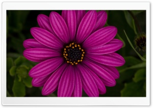 African Daisy HD Wide Wallpaper for Widescreen