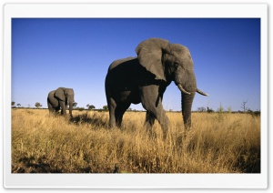 African Elephants HD Wide Wallpaper for 4K UHD Widescreen desktop & smartphone