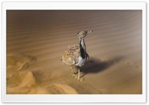 African Houbara Bustard Bird, Desert Sand HD Wide Wallpaper for 4K UHD Widescreen desktop & smartphone