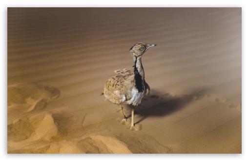 African Houbara Bustard Bird, Desert Sand UltraHD Wallpaper for Wide 16:10 5:3 Widescreen WHXGA WQXGA WUXGA WXGA WGA ; UltraWide 21:9 24:10 ; 8K UHD TV 16:9 Ultra High Definition 2160p 1440p 1080p 900p 720p ; UHD 16:9 2160p 1440p 1080p 900p 720p ; Standard 4:3 5:4 3:2 Fullscreen UXGA XGA SVGA QSXGA SXGA DVGA HVGA HQVGA ( Apple PowerBook G4 iPhone 4 3G 3GS iPod Touch ) ; Smartphone 16:9 3:2 5:3 2160p 1440p 1080p 900p 720p DVGA HVGA HQVGA ( Apple PowerBook G4 iPhone 4 3G 3GS iPod Touch ) WGA ; Tablet 1:1 ; iPad 1/2/Mini ; Mobile 4:3 5:3 3:2 16:9 5:4 - UXGA XGA SVGA WGA DVGA HVGA HQVGA ( Apple PowerBook G4 iPhone 4 3G 3GS iPod Touch ) 2160p 1440p 1080p 900p 720p QSXGA SXGA ;