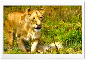 African Lioness HD Wide Wallpaper for Widescreen