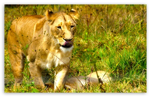 African Lioness HD wallpaper for Wide 16:10 5:3 Widescreen WHXGA WQXGA WUXGA WXGA WGA ; HD 16:9 High Definition WQHD QWXGA 1080p 900p 720p QHD nHD ; Standard 4:3 5:4 3:2 Fullscreen UXGA XGA SVGA QSXGA SXGA DVGA HVGA HQVGA devices ( Apple PowerBook G4 iPhone 4 3G 3GS iPod Touch ) ; iPad 1/2/Mini ; Mobile 4:3 5:3 3:2 16:9 5:4 - UXGA XGA SVGA WGA DVGA HVGA HQVGA devices ( Apple PowerBook G4 iPhone 4 3G 3GS iPod Touch ) WQHD QWXGA 1080p 900p 720p QHD nHD QSXGA SXGA ;