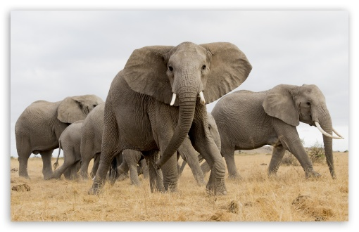 African Safari Elephants UltraHD Wallpaper for Wide 16:10 5:3 Widescreen WHXGA WQXGA WUXGA WXGA WGA ; UltraWide 21:9 24:10 ; 8K UHD TV 16:9 Ultra High Definition 2160p 1440p 1080p 900p 720p ; UHD 16:9 2160p 1440p 1080p 900p 720p ; Standard 4:3 5:4 3:2 Fullscreen UXGA XGA SVGA QSXGA SXGA DVGA HVGA HQVGA ( Apple PowerBook G4 iPhone 4 3G 3GS iPod Touch ) ; Smartphone 16:9 3:2 5:3 2160p 1440p 1080p 900p 720p DVGA HVGA HQVGA ( Apple PowerBook G4 iPhone 4 3G 3GS iPod Touch ) WGA ; Tablet 1:1 ; iPad 1/2/Mini ; Mobile 4:3 5:3 3:2 16:9 5:4 - UXGA XGA SVGA WGA DVGA HVGA HQVGA ( Apple PowerBook G4 iPhone 4 3G 3GS iPod Touch ) 2160p 1440p 1080p 900p 720p QSXGA SXGA ;