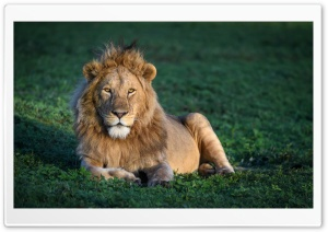 African Young male Lion HD Wide Wallpaper for Widescreen