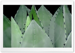 Agave Plant HD Wide Wallpaper for Widescreen