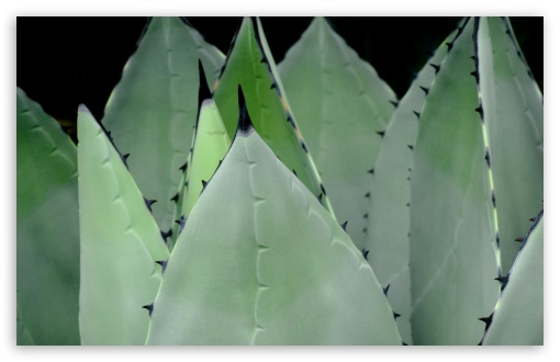 Agave Plant UltraHD Wallpaper for Wide 16:10 5:3 Widescreen WHXGA WQXGA WUXGA WXGA WGA ; 8K UHD TV 16:9 Ultra High Definition 2160p 1440p 1080p 900p 720p ; Standard 4:3 5:4 3:2 Fullscreen UXGA XGA SVGA QSXGA SXGA DVGA HVGA HQVGA ( Apple PowerBook G4 iPhone 4 3G 3GS iPod Touch ) ; Tablet 1:1 ; iPad 1/2/Mini ; Mobile 4:3 5:3 3:2 16:9 5:4 - UXGA XGA SVGA WGA DVGA HVGA HQVGA ( Apple PowerBook G4 iPhone 4 3G 3GS iPod Touch ) 2160p 1440p 1080p 900p 720p QSXGA SXGA ;