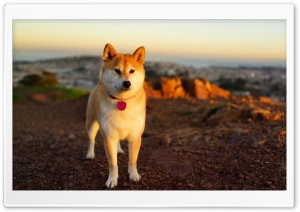 Akita Inu HD Wide Wallpaper for Widescreen