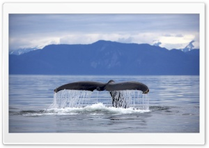 Alaska Frederick Sound Humpback Whale Megaptera Novaeangliae Tail HD Wide Wallpaper for 4K UHD Widescreen desktop & smartphone