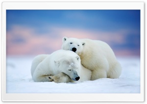 Alaska Two White Bears HD Wide Wallpaper for Widescreen