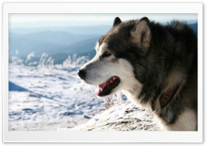 Alaskan Malamute Dog HD Wide Wallpaper for Widescreen