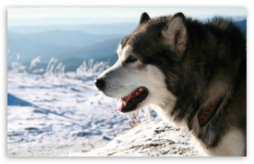 Alaskan Malamute Dog HD wallpaper for Wide 16:10 5:3 Widescreen WHXGA WQXGA WUXGA WXGA WGA ; HD 16:9 High Definition WQHD QWXGA 1080p 900p 720p QHD nHD ; Standard 4:3 5:4 3:2 Fullscreen UXGA XGA SVGA QSXGA SXGA DVGA HVGA HQVGA devices ( Apple PowerBook G4 iPhone 4 3G 3GS iPod Touch ) ; Tablet 1:1 ; iPad 1/2/Mini ; Mobile 4:3 5:3 3:2 16:9 5:4 - UXGA XGA SVGA WGA DVGA HVGA HQVGA devices ( Apple PowerBook G4 iPhone 4 3G 3GS iPod Touch ) WQHD QWXGA 1080p 900p 720p QHD nHD QSXGA SXGA ;