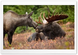 Alaskan Moose Pair HD Wide Wallpaper for Widescreen