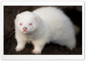 Albino Ferret HD Wide Wallpaper for Widescreen