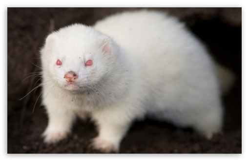 Albino Ferret ❤ 4K UHD Wallpaper for Wide 16:10 5:3 Widescreen WHXGA WQXGA WUXGA WXGA WGA ; 4K UHD 16:9 Ultra High Definition 2160p 1440p 1080p 900p 720p ; Standard 4:3 5:4 3:2 Fullscreen UXGA XGA SVGA QSXGA SXGA DVGA HVGA HQVGA ( Apple PowerBook G4 iPhone 4 3G 3GS iPod Touch ) ; iPad 1/2/Mini ; Mobile 4:3 5:3 3:2 16:9 5:4 - UXGA XGA SVGA WGA DVGA HVGA HQVGA ( Apple PowerBook G4 iPhone 4 3G 3GS iPod Touch ) 2160p 1440p 1080p 900p 720p QSXGA SXGA ;