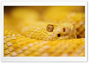 Albino Rattlesnake HD Wide Wallpaper for Widescreen