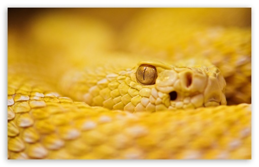 Albino Rattlesnake HD wallpaper for Standard 4:3 5:4 Fullscreen UXGA XGA SVGA QSXGA SXGA ; Wide 16:10 5:3 Widescreen WHXGA WQXGA WUXGA WXGA WGA ; HD 16:9 High Definition WQHD QWXGA 1080p 900p 720p QHD nHD ; Other 3:2 DVGA HVGA HQVGA devices ( Apple PowerBook G4 iPhone 4 3G 3GS iPod Touch ) ; Mobile VGA WVGA iPhone iPad PSP Phone - VGA QVGA Smartphone ( PocketPC GPS iPod Zune BlackBerry HTC Samsung LG Nokia Eten Asus ) WVGA WQVGA Smartphone ( HTC Samsung Sony Ericsson LG Vertu MIO ) HVGA Smartphone ( Apple iPhone iPod BlackBerry HTC Samsung Nokia ) Sony PSP Zune HD Zen ; Tablet 2 Android ; Dual 4:3 5:4 16:10 5:3 UXGA XGA SVGA QSXGA SXGA WHXGA WQXGA WUXGA WXGA WGA ;