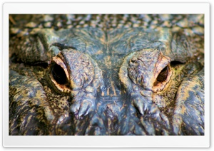 Alligator Eyes HD Wide Wallpaper for Widescreen