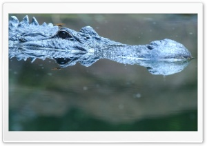Alligator In Water HD Wide Wallpaper for 4K UHD Widescreen desktop & smartphone