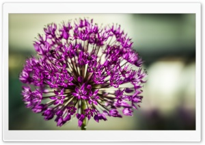 Allium Aflatunense Flower HD Wide Wallpaper for Widescreen