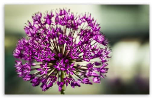 Allium Aflatunense Flower ❤ 4K UHD Wallpaper for Wide 16:10 5:3 Widescreen WHXGA WQXGA WUXGA WXGA WGA ; UltraWide 21:9 24:10 ; 4K UHD 16:9 Ultra High Definition 2160p 1440p 1080p 900p 720p ; UHD 16:9 2160p 1440p 1080p 900p 720p ; Standard 4:3 5:4 3:2 Fullscreen UXGA XGA SVGA QSXGA SXGA DVGA HVGA HQVGA ( Apple PowerBook G4 iPhone 4 3G 3GS iPod Touch ) ; Smartphone 16:9 3:2 5:3 2160p 1440p 1080p 900p 720p DVGA HVGA HQVGA ( Apple PowerBook G4 iPhone 4 3G 3GS iPod Touch ) WGA ; Tablet 1:1 ; iPad 1/2/Mini ; Mobile 4:3 5:3 3:2 16:9 5:4 - UXGA XGA SVGA WGA DVGA HVGA HQVGA ( Apple PowerBook G4 iPhone 4 3G 3GS iPod Touch ) 2160p 1440p 1080p 900p 720p QSXGA SXGA ;